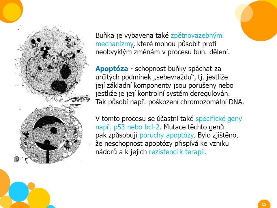 Buňka je vybavena také zpětnovazebnými mechanizmy, které mohou působit proti neobvyklým změnám v procesu bun. dělení. Apoptóza - schopnost buňky spách