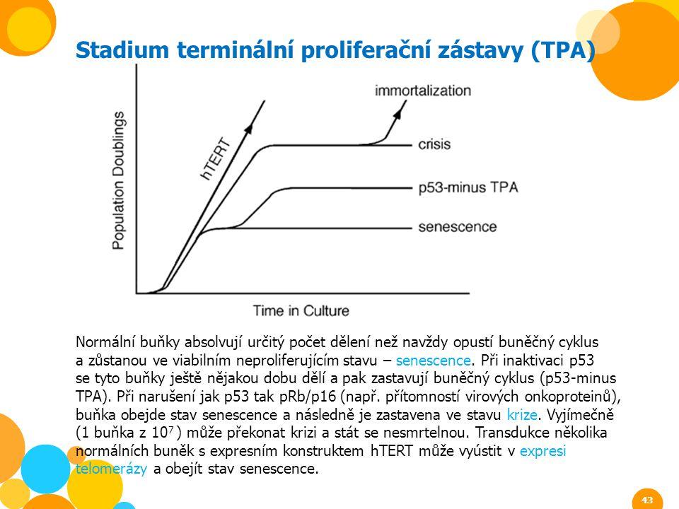 Stadium terminální proliferační zástavy (TPA) Normální buňky absolvují určitý počet dělení než navždy opustí buněčný cyklus a zůstanou ve viabilním ne