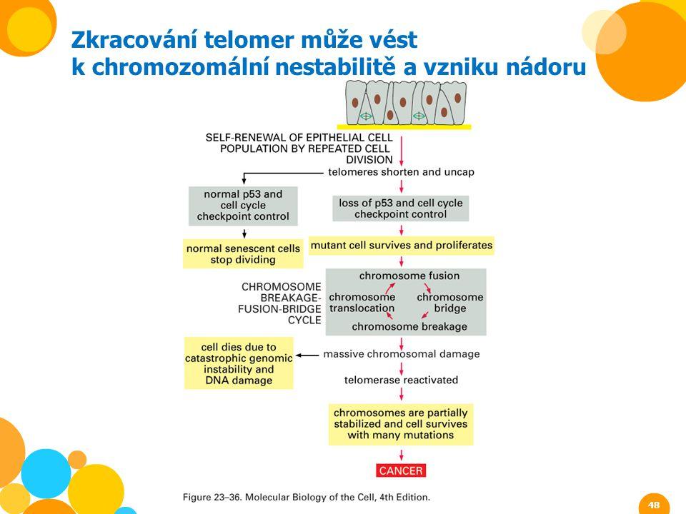 Zkracování telomer může vést k chromozomální nestabilitě a vzniku nádoru 48