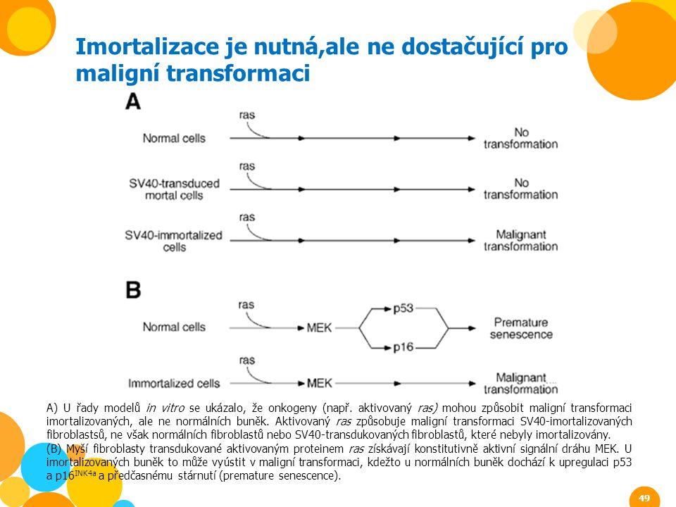 Imortalizace je nutná,ale ne dostačující pro maligní transformaci A) U řady modelů in vitro se ukázalo, že onkogeny (např. aktivovaný ras) mohou způso
