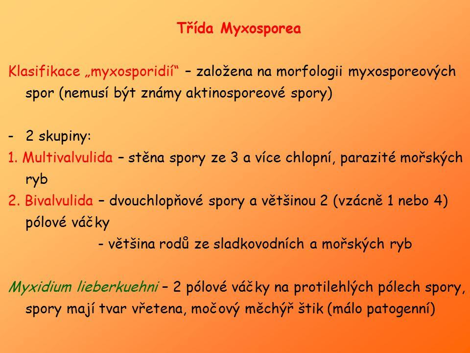 "Třída Myxosporea Klasifikace ""myxosporidií"" – založena na morfologii myxosporeových spor (nemusí být známy aktinosporeové spory) -2 skupiny: 1. Multiv"