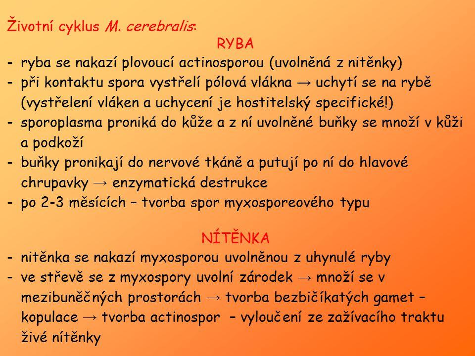 Životní cyklus M. cerebralis: RYBA -ryba se nakazí plovoucí actinosporou (uvolněná z nitěnky) -při kontaktu spora vystřelí pólová vlákna → uchytí se n