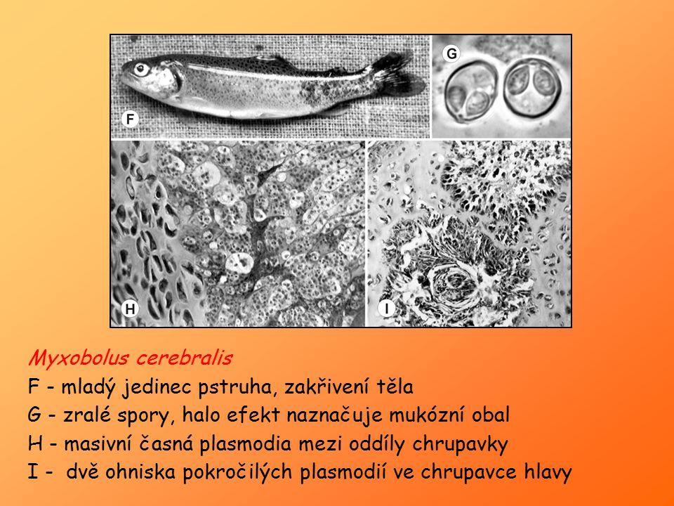 Myxobolus cerebralis F - mladý jedinec pstruha, zakřivení těla G - zralé spory, halo efekt naznačuje mukózní obal H - masivní časná plasmodia mezi odd