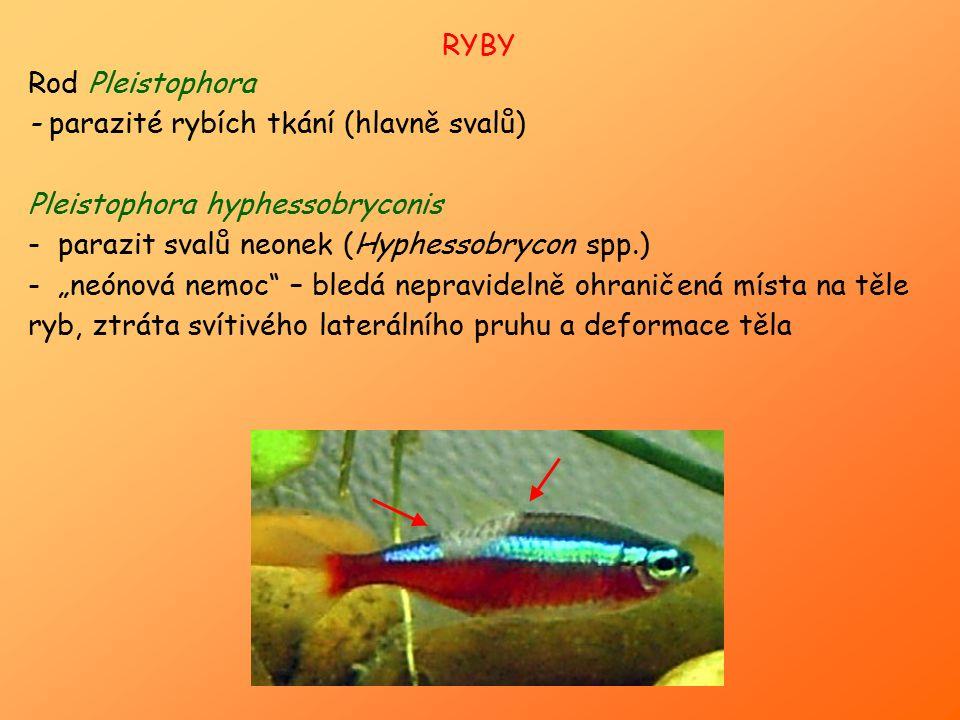 """RYBY Rod Pleistophora - parazité rybích tkání (hlavně svalů) Pleistophora hyphessobryconis - parazit svalů neonek (Hyphessobrycon spp.) - """"neónová nem"""