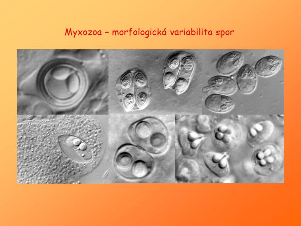 """Spora : - 2 až 7 chlopní (""""valvy ) - 1 – 7 pólových váčků → obsahují spirálovitě stočené vymrštitelné vlákno (lepivé, přichycení ke střevnímu epitelu hostitele) - sporoplasma (= zárodek) – buňka se 2 jádry + glykogenová vakuola ("""" jodová vakuola ; zásobní látka D-glykogén) šev spojující 2 chlopně spory sporoplasma pólové váčky"""