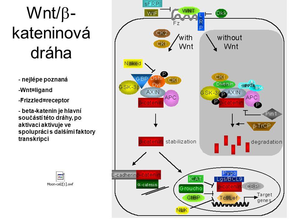 Wnt/  - kateninová dráha - nejlépe poznaná -Wnt=ligand -Frizzled=receptor - beta-katenin je hlavní součástí této dráhy, po aktivaci aktivuje ve spolu