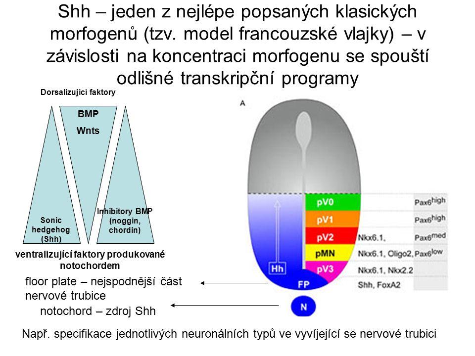 Shh – jeden z nejlépe popsaných klasických morfogenů (tzv. model francouzské vlajky) – v závislosti na koncentraci morfogenu se spouští odlišné transk