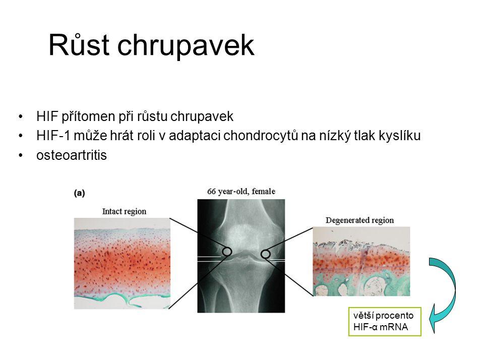 Růst chrupavek HIF přítomen při růstu chrupavek HIF-1 může hrát roli v adaptaci chondrocytů na nízký tlak kyslíku osteoartritis větší procento HIF-α m
