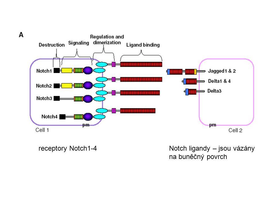 receptory Notch1-4Notch ligandy – jsou vázány na buněčný povrch