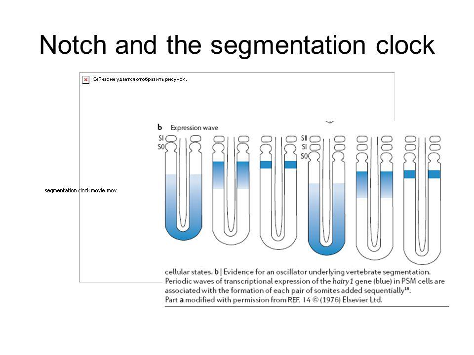 Notch and the segmentation clock