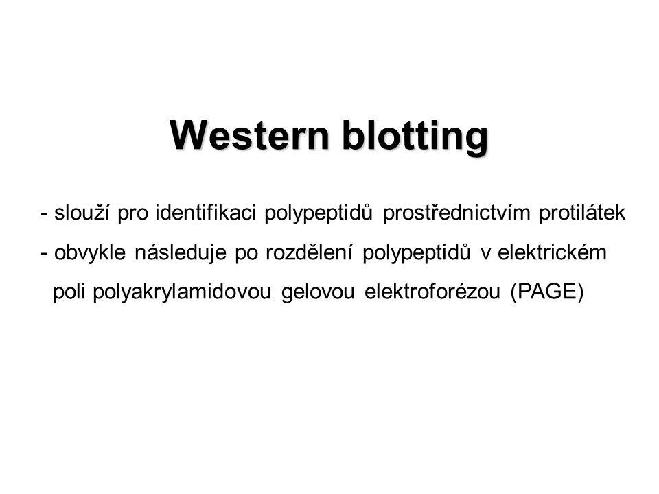Imunodetekce detekce proteinů pomocí specifické protilátky před vlastní imunodetekcí je membrána blokována - zabránění nespecifickým interakcím mezi membránou a protilátkou - redukce pozadí - roztok hovězího sérového albuminu (BSA) nebo ředěné odtučněné mléko (unfatty dry milk) Primární protilátky -monoklonální - protilátky produkované jen jedním určitým klonem B- lymfocytů - specifické pro jeden jediný epitop - produkce – hybridomy (fúze maligních myelomových buněk a zdravých lymfocytů produkujích Ab) -polyklonální - produkované po opakované imunizaci zvířete, jeho krev využita jako zdroj protilátek - imunoglobuliny jsou produkty různých klonů B-lymfocytů