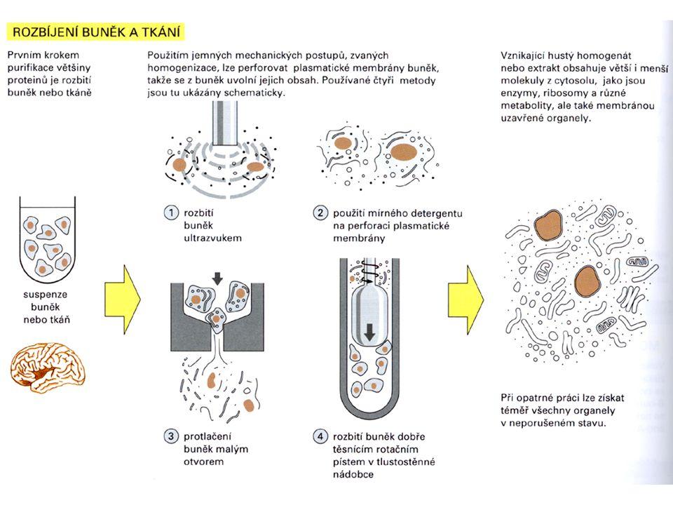 Elektroforéza - pohyb nabitých částic v elektrickém poli - používají se alkalické pufry, které proteinům udílejí negativní náboj – v elektrickém poli pohyb směrem k anodě