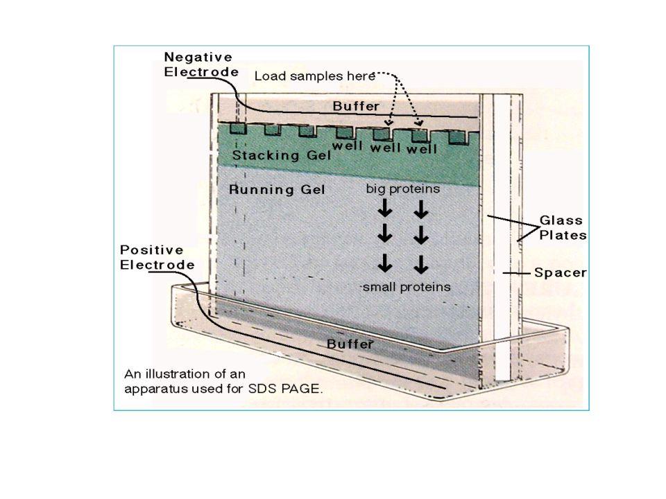 SDS-PAGE Pohyblivost proteinů v gelu při nativní elektroforéze ovlivněna - tvarem (globulární, vláknité) - hustotou náboje - velikostí SDS-PAGE – denaturační varianta - proteiny se před nanesením na gel denaturují detergentem SDS (laurylsíran sodný) - disulfidové vazby se eliminují redukčním činidlem β-mercaptoethanol - denaturace je dokončena krátkým varem - SDS - obklopí protein – záporný náboj – odpuzování – natažení molekuly - počet molekul SDS navázaných na protein je zhruba úměrný jeho molekulové hmotnosti – každý protein má za přítomnosti SDS ekvivalentní hustotu náboje - jediným faktorem, který ovlivňuje pohyblivost proteinů v gelu při SDS PAGE je molekulová hmotnost