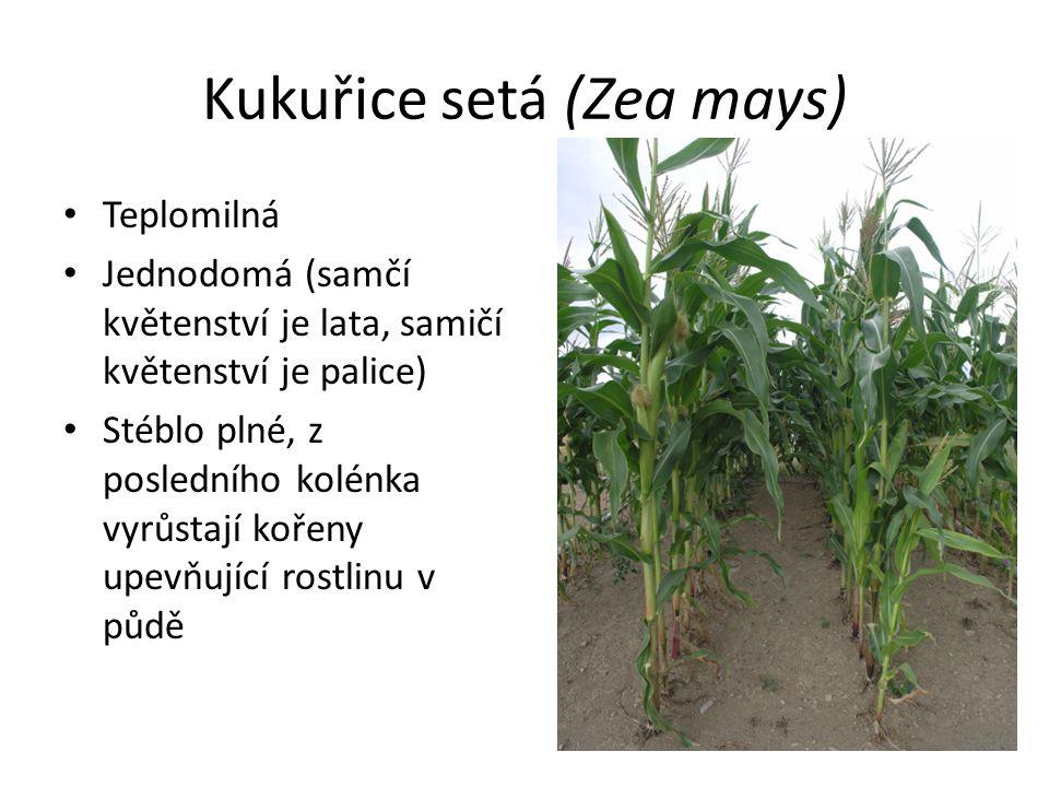 Kukuřice setá (Zea mays) Teplomilná Jednodomá (samčí květenství je lata, samičí květenství je palice) Stéblo plné, z posledního kolénka vyrůstají koře