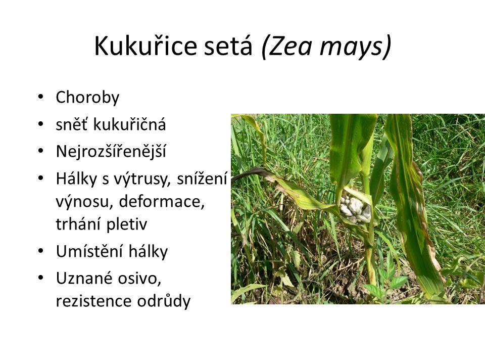 Kukuřice setá (Zea mays) Choroby sněť kukuřičná Nejrozšířenější Hálky s výtrusy, snížení výnosu, deformace, trhání pletiv Umístění hálky Uznané osivo,