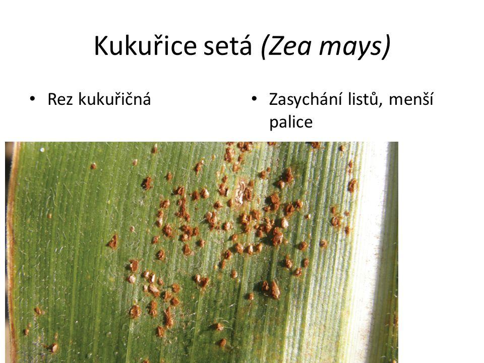 Zasychání listů, menší palice Rez kukuřičná