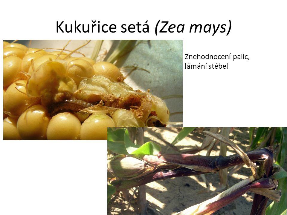 Kukuřice setá (Zea mays) Znehodnocení palic, lámání stébel