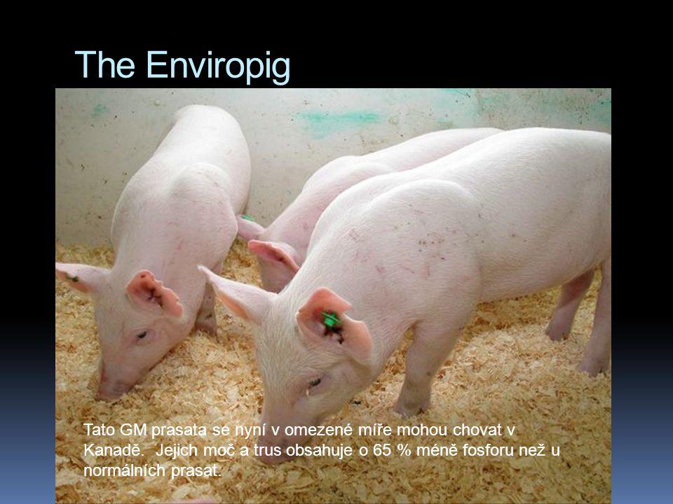 The Enviropig Tato GM prasata se nyní v omezené míře mohou chovat v Kanadě. Jejich moč a trus obsahuje o 65 % méně fosforu než u normálních prasat.