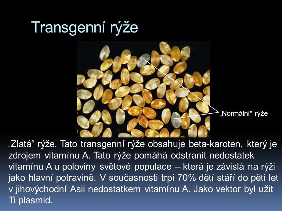 """Transgenní rýže """" Zlatá"""" rýže. Tato transgenní rýže obsahuje beta-karoten, který je zdrojem vitamínu A. Tato rýže pomáhá odstranit nedostatek vitamínu"""