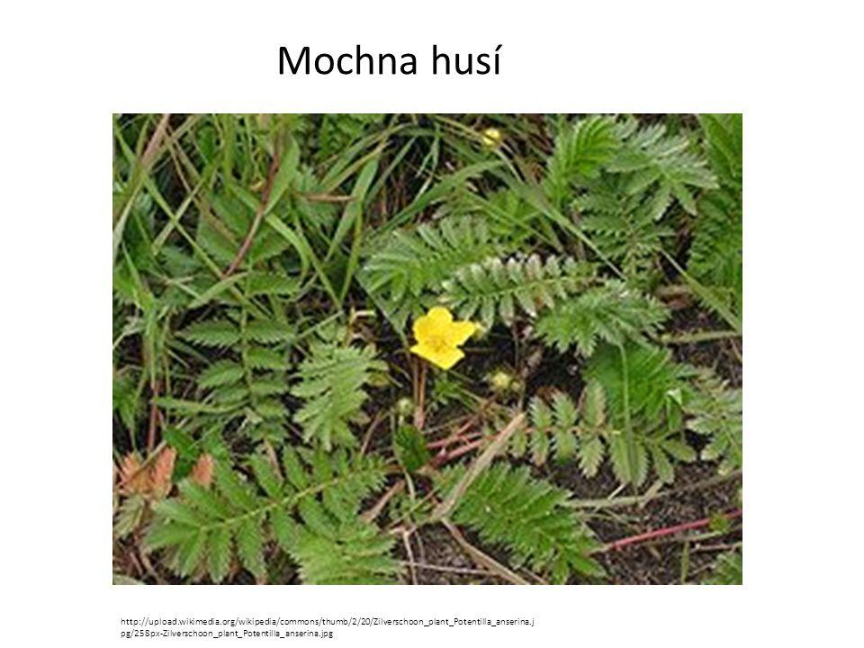 Mochna husí http://upload.wikimedia.org/wikipedia/commons/thumb/2/20/Zilverschoon_plant_Potentilla_anserina.j pg/258px-Zilverschoon_plant_Potentilla_a