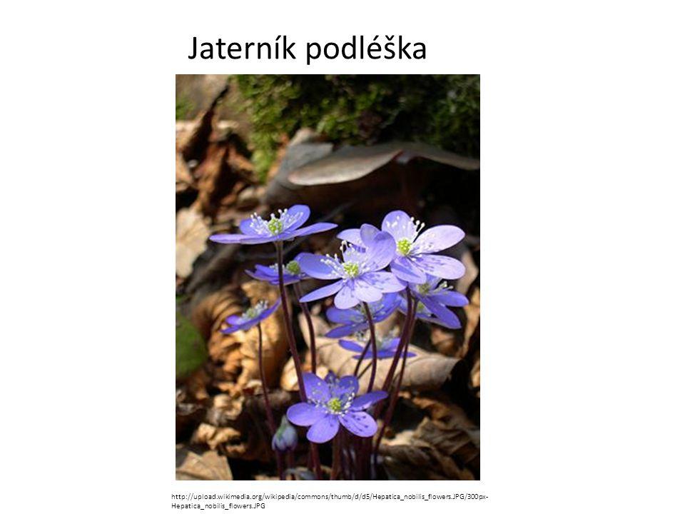 Jaterník podléška http://upload.wikimedia.org/wikipedia/commons/thumb/d/d5/Hepatica_nobilis_flowers.JPG/300px- Hepatica_nobilis_flowers.JPG