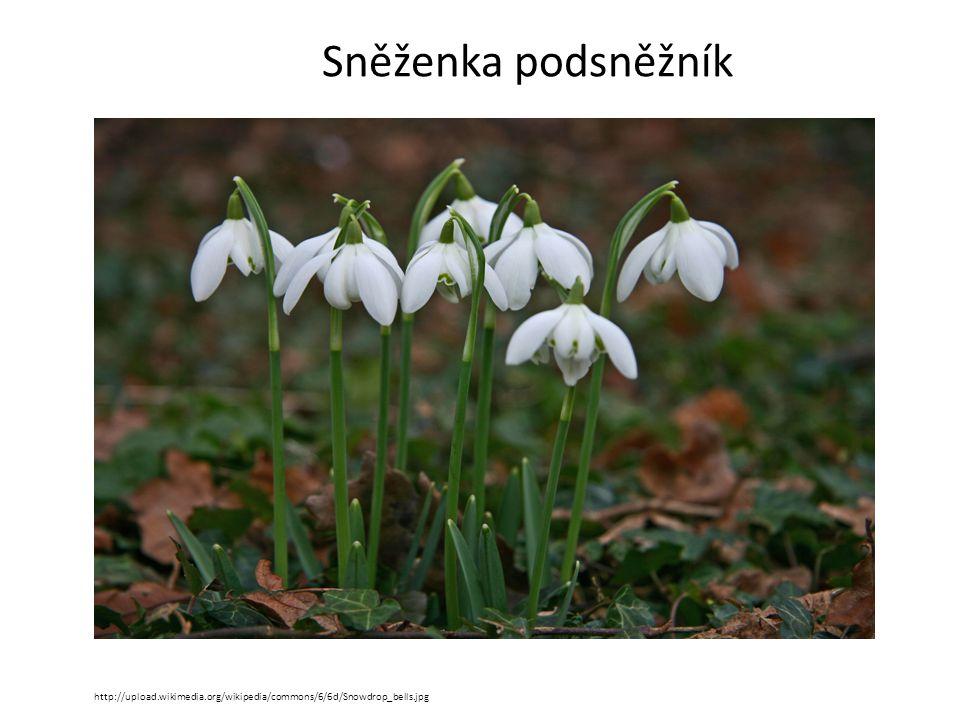 Sněženka podsněžník http://upload.wikimedia.org/wikipedia/commons/6/6d/Snowdrop_bells.jpg