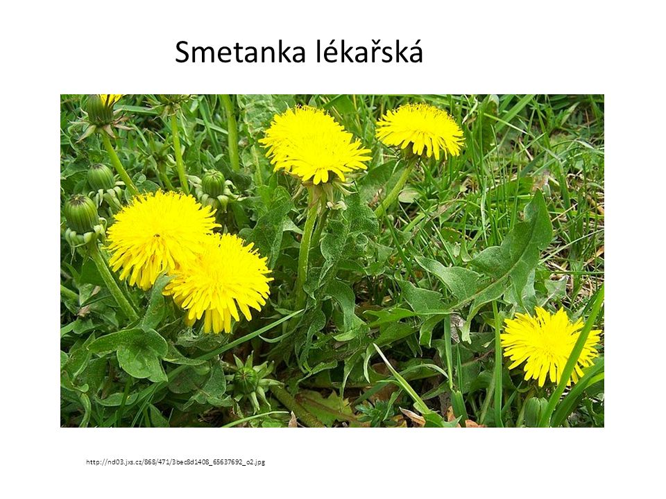 Prvosenka jarní (petrklíč) http://upload.wikimedia.org/wikipedia/commons/thumb/3/31/Primula_veris_0x.JPG/250px- Primula_veris_0x.JPG
