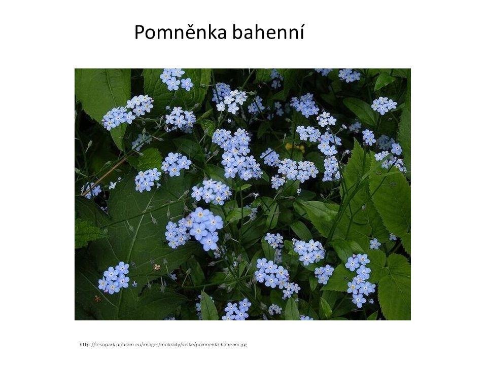 Pomněnka bahenní http://lesopark.pribram.eu/images/mokrady/velke/pomnenka-bahenni.jpg