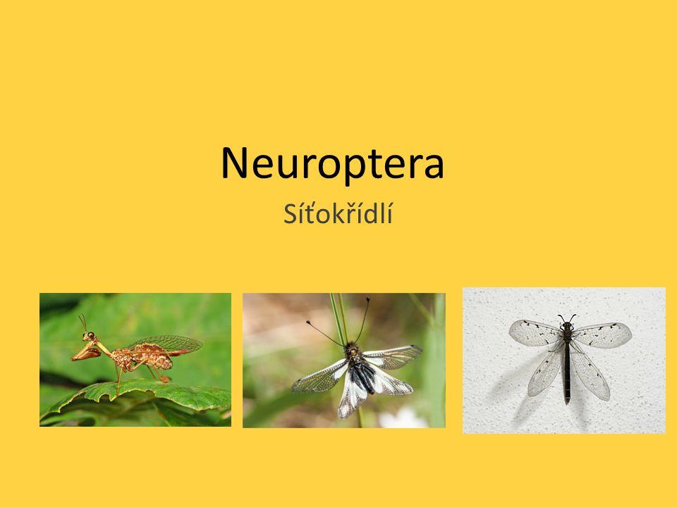 Neuroptera Síťokřídlí
