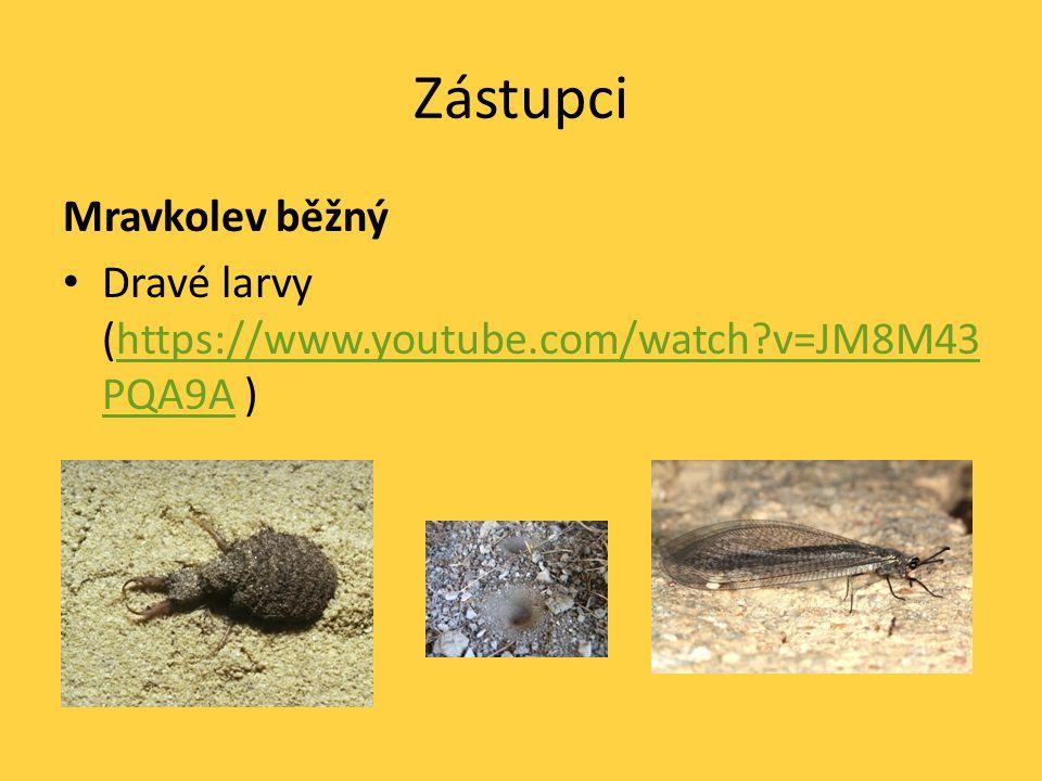 Zástupci Mravkolev běžný Dravé larvy (https://www.youtube.com/watch?v=JM8M43 PQA9A )https://www.youtube.com/watch?v=JM8M43 PQA9A