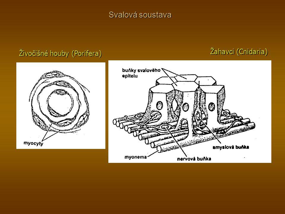 Svalová soustava Živočišné houby (Porifera) Žahavci (Cnidaria)