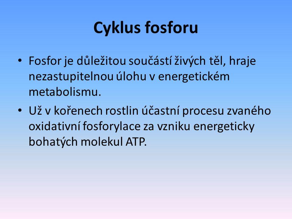 Cyklus fosforu Fosfor je důležitou součástí živých těl, hraje nezastupitelnou úlohu v energetickém metabolismu.