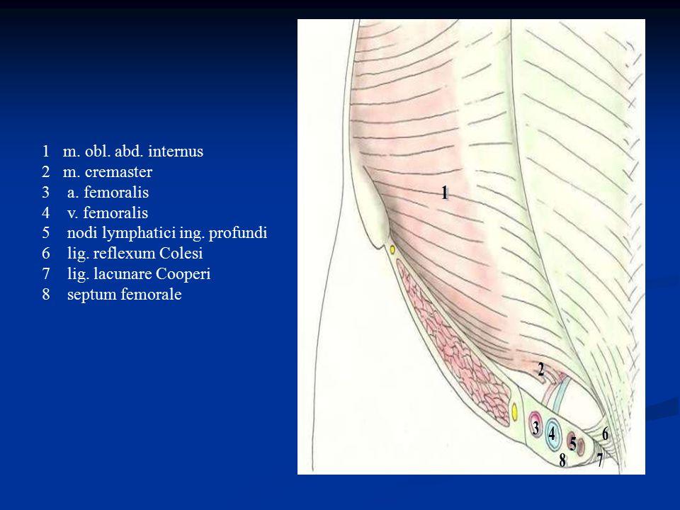 1 m. obl. abd. internus 2 m. cremaster 3a. femoralis 4v. femoralis 5nodi lymphatici ing. profundi 6lig. reflexum Colesi 7lig. lacunare Cooperi 8septum