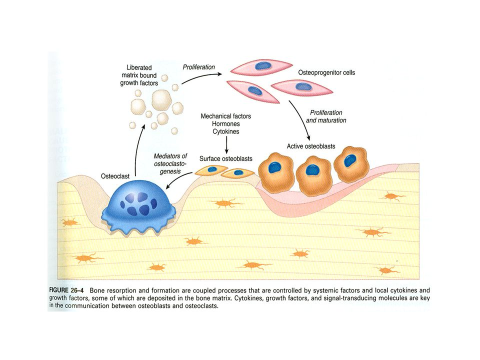 Ostitis (osteopathia) fibrosa cystica generalisata, M Recklinghausen (1)Parathormon  OBL  OKL resorpce povrchu kostních trámců – res lakuny.