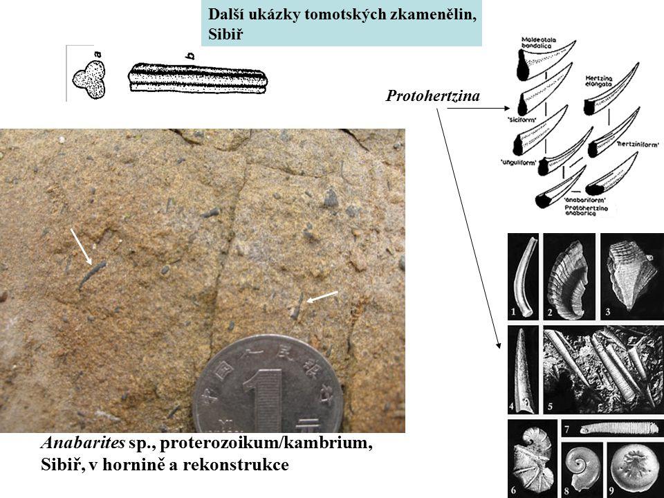 Anabarites sp., proterozoikum/kambrium, Sibiř, v hornině a rekonstrukce Další ukázky tomotských zkamenělin, Sibiř Protohertzina