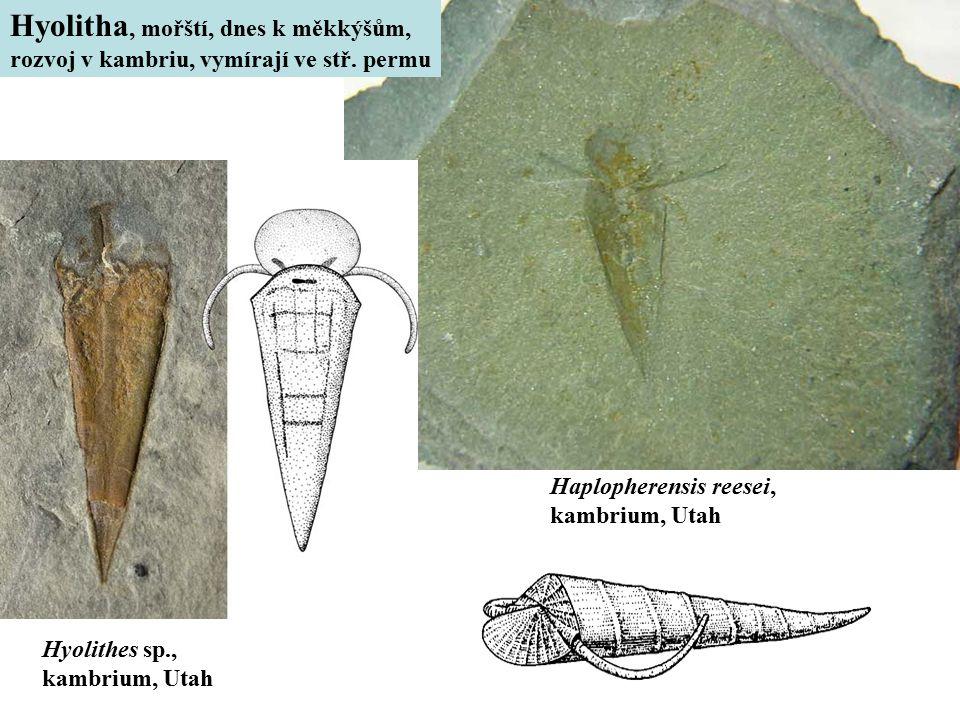 Haplopherensis reesei, kambrium, Utah Hyolithes sp., kambrium, Utah Hyolitha, mořští, dnes k měkkýšům, rozvoj v kambriu, vymírají ve stř. permu