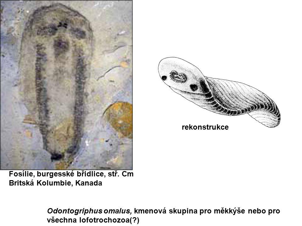 Odontogriphus omalus, kmenová skupina pro měkkýše nebo pro všechna lofotrochozoa(?) Fosílie, burgesské břidlice, stř. Cm Britská Kolumbie, Kanada reko