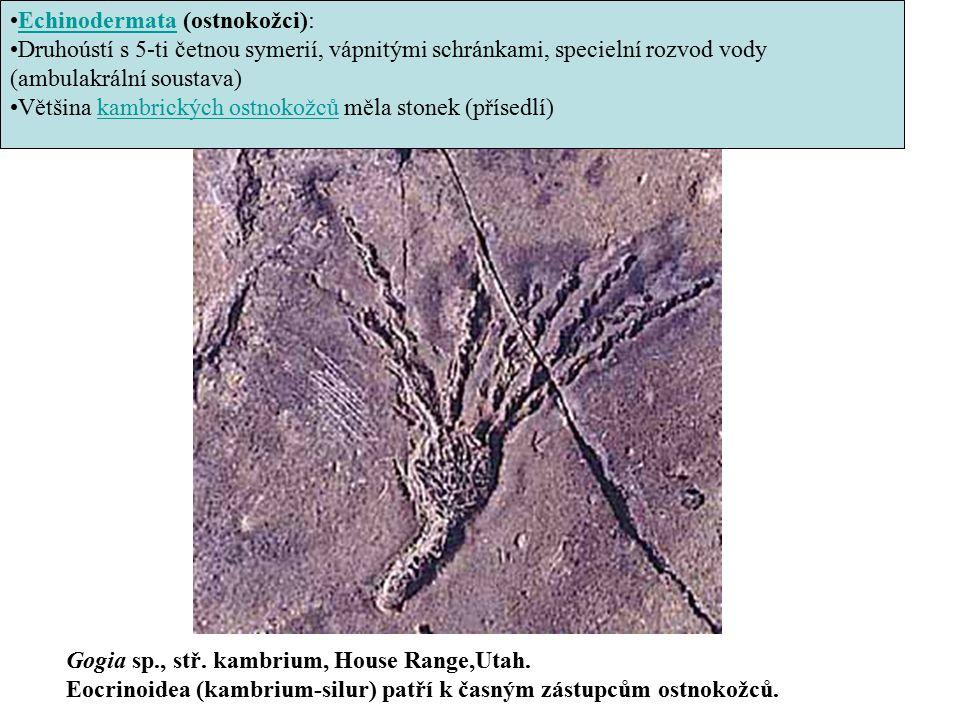 Gogia sp., stř. kambrium, House Range,Utah. Eocrinoidea (kambrium-silur) patří k časným zástupcům ostnokožců. Echinodermata (ostnokožci):Echinodermata