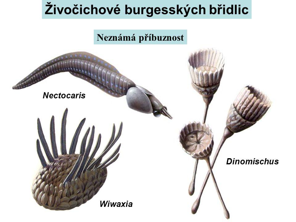 Wiwaxia Nectocaris Dinomischus Živočichové burgesských břidlic Neznámá příbuznost