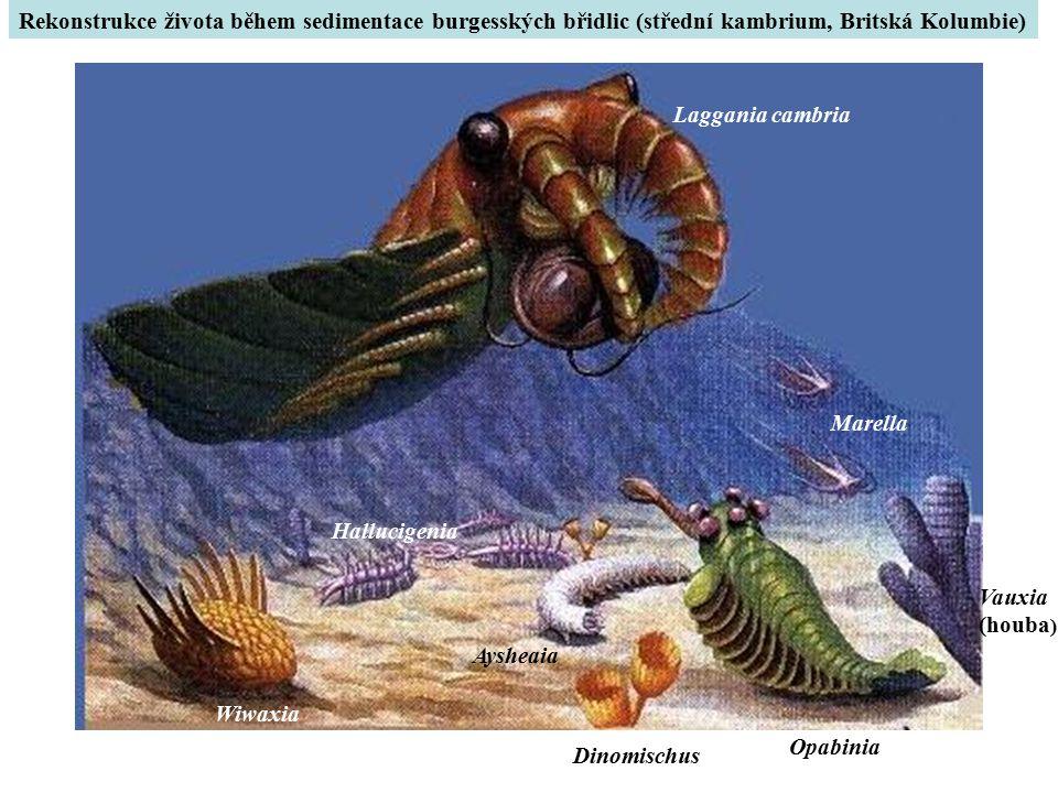 Laggania cambria Wiwaxia Hallucigenia Aysheaia Opabinia Marella Dinomischus Vauxia (houba ) Rekonstrukce života během sedimentace burgesských břidlic (střední kambrium, Britská Kolumbie)