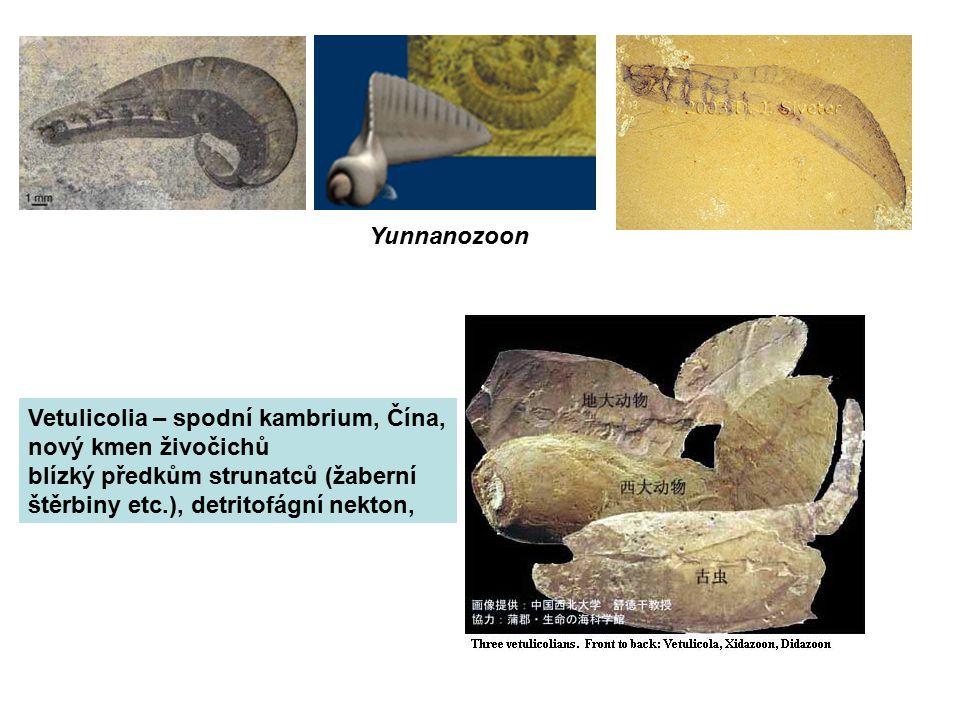 Yunnanozoon Vetulicolia – spodní kambrium, Čína, nový kmen živočichů blízký předkům strunatců (žaberní štěrbiny etc.), detritofágní nekton,