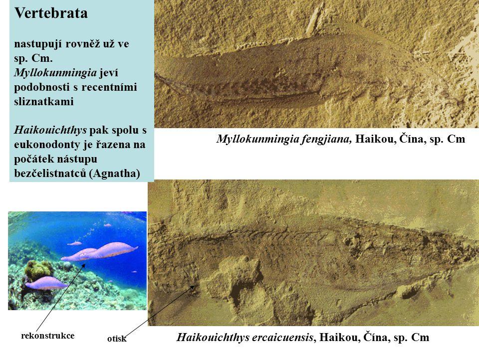 Myllokunmingia fengjiana, Haikou, Čína, sp. Cm Haikouichthys ercaicuensis, Haikou, Čína, sp. Cm rekonstrukce otisk Vertebrata nastupují rovněž už ve s