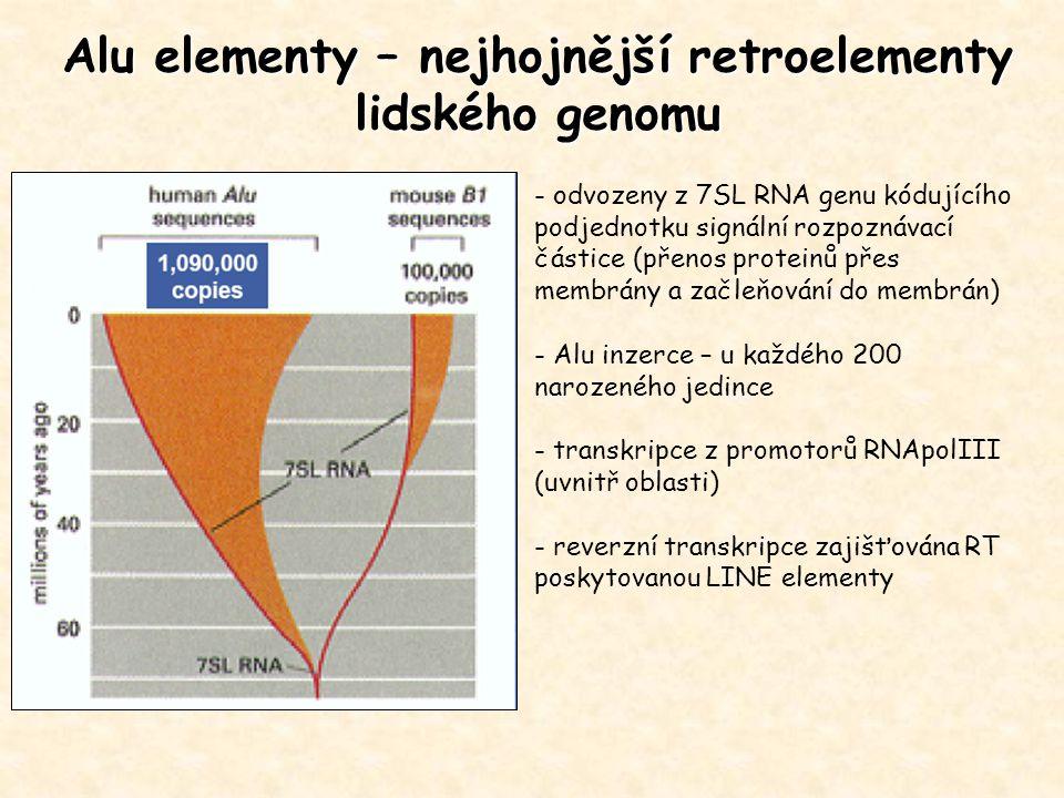 Alu elementy – nejhojnější retroelementy lidského genomu - odvozeny z 7SL RNA genu kódujícího podjednotku signální rozpoznávací částice (přenos proteinů přes membrány a začleňování do membrán) - Alu inzerce – u každého 200 narozeného jedince - transkripce z promotorů RNApolIII (uvnitř oblasti) - reverzní transkripce zajišťována RT poskytovanou LINE elementy