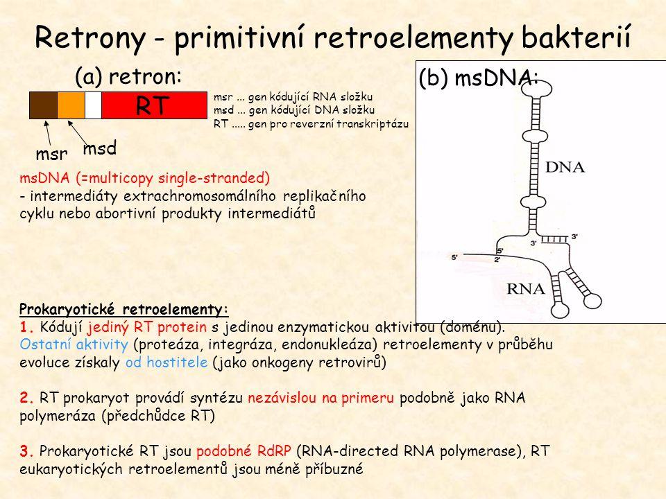 msDNA (=multicopy single-stranded) - intermediáty extrachromosomálního replikačního cyklu nebo abortivní produkty intermediátů msr msd RT (b) msDNA: (