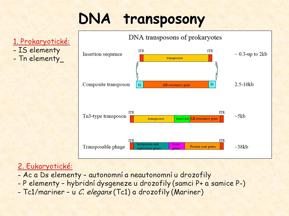 DNA transposony 1. Prokaryotické: - IS elementy - Tn elementy 2. Eukaryotické: - Ac a Ds elementy – autonomní a neautonomní u drozofily - P elementy –