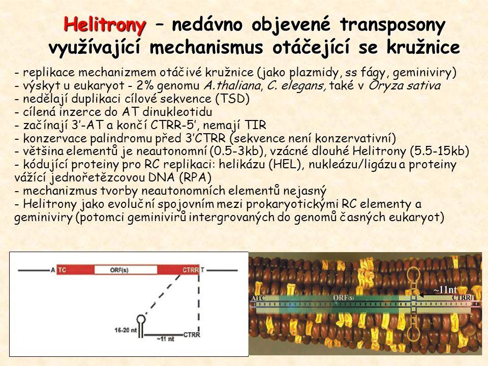 Helitrony – nedávno objevené transposony využívající mechanismus otáčející se kružnice - replikace mechanizmem otáčivé kružnice (jako plazmidy, ss fágy, geminiviry) - výskyt u eukaryot - 2% genomu A.thaliana, C.