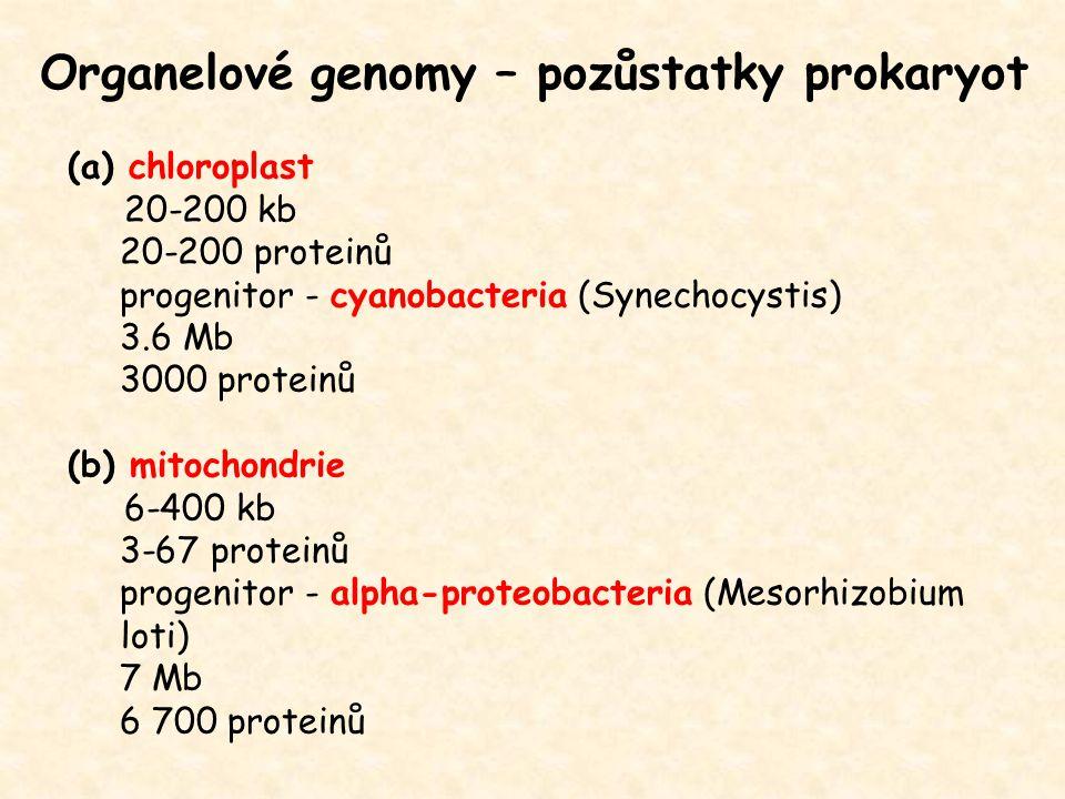(a) chloroplast 20-200 kb 20-200 proteinů progenitor - cyanobacteria (Synechocystis) 3.6 Mb 3000 proteinů (b) mitochondrie 6-400 kb 3-67 proteinů progenitor - alpha-proteobacteria (Mesorhizobium loti) 7 Mb 6 700 proteinů Organelové genomy – pozůstatky prokaryot