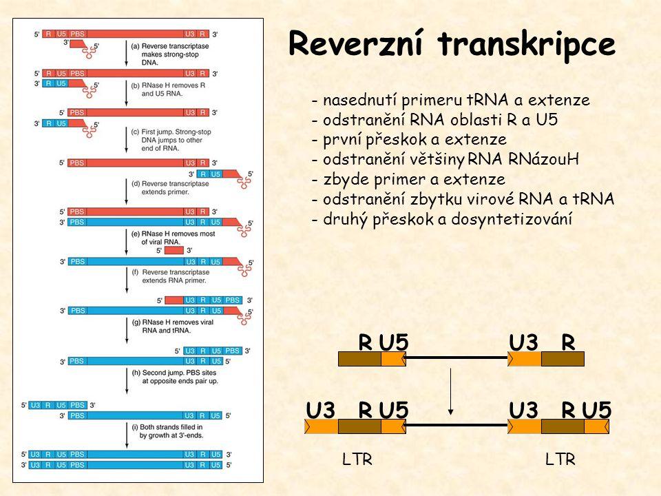 Reverzní transkripce - nasednutí primeru tRNA a extenze - odstranění RNA oblasti R a U5 - první přeskok a extenze - odstranění většiny RNA RNázouH - zbyde primer a extenze - odstranění zbytku virové RNA a tRNA - druhý přeskok a dosyntetizování U3U5RU3U5R RU3R LTR