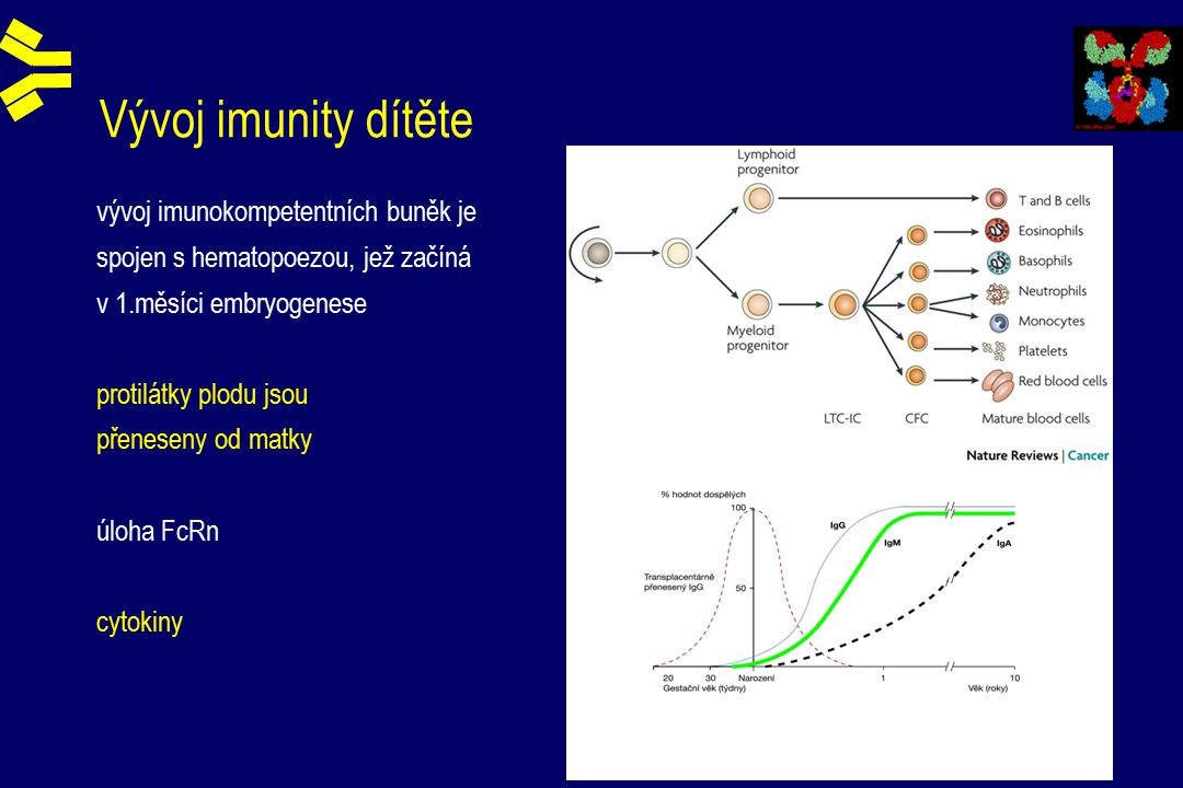 Vývoj imunity dítěte vývoj imunokompetentních buněk je spojen s hematopoezou, jež začíná v 1.měsíci embryogenese protilátky plodu jsou přeneseny od matky úloha FcRn cytokiny
