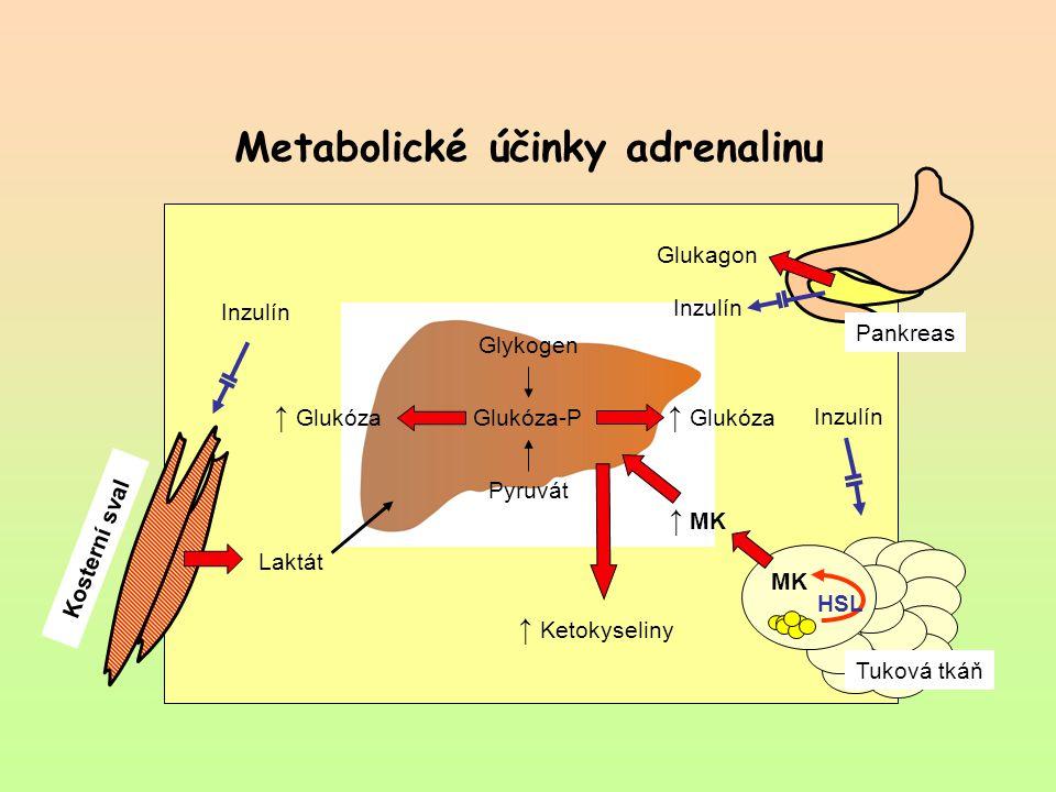 Metabolické účinky adrenalinu Glykogen Glukóza-P Pyruvát ↑ Glukóza Kosterní sval ↑ MK ↑ Ketokyseliny MK HSL Tuková tkáň Glukagon Inzulín Laktát Pankre